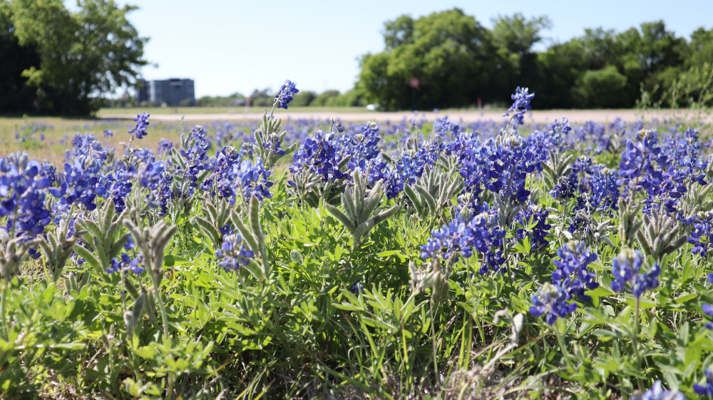 Los mejores sitios para encontrar campos de bluebonnets en Texas